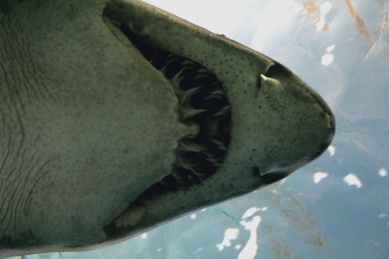shark-01a