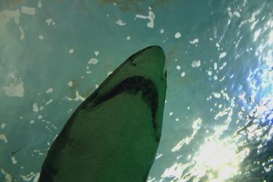 shark-02a