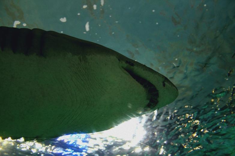 shark-03a