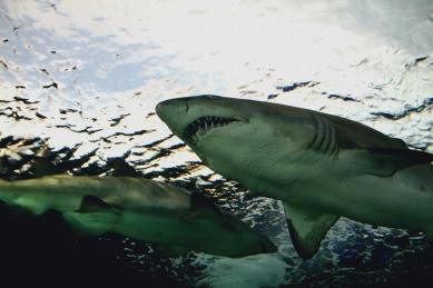 shark-05a