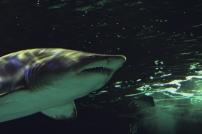shark-07a