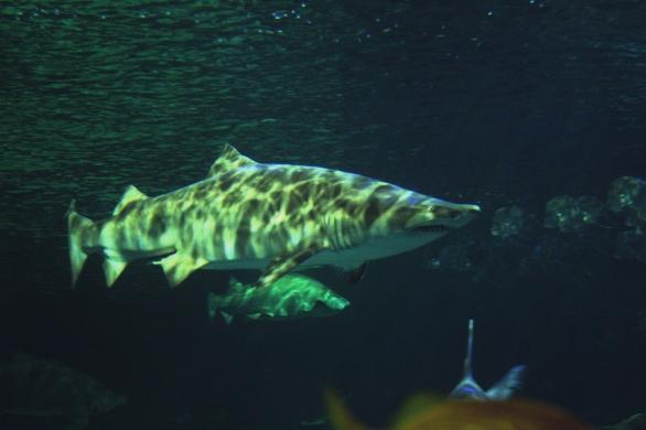 shark-08a