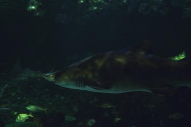 shark-09a