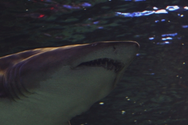 shark-10a