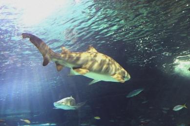 shark-11a