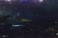 shark-12a