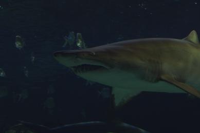 shark-13a