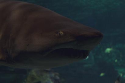 shark-15a
