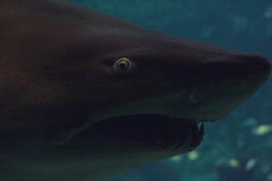shark-16a