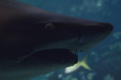 shark-17a